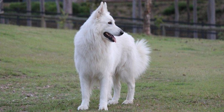 White Shepherd temperament
