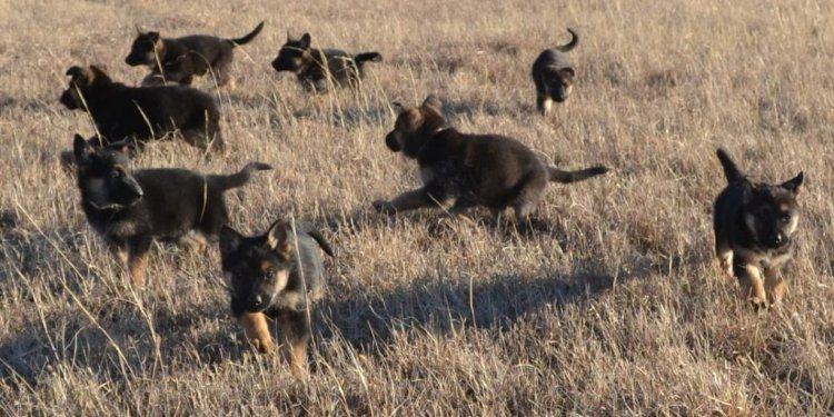 Great German Shepherd names