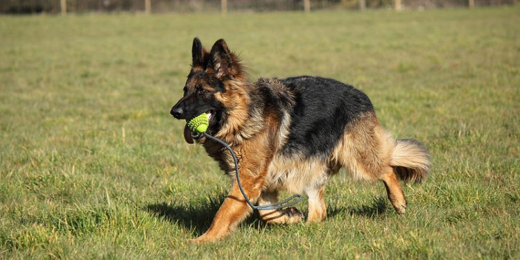 Long haired German Shepherd pictures
