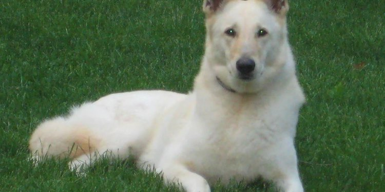 Free White German Shepherd