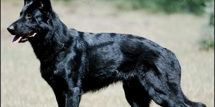 Black German Shepherd breed