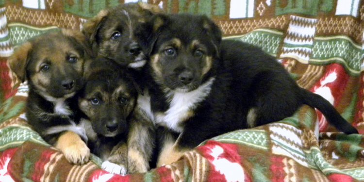 German Shepherd Lab mix puppies