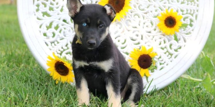 Lab German Shepherd mix for Sale