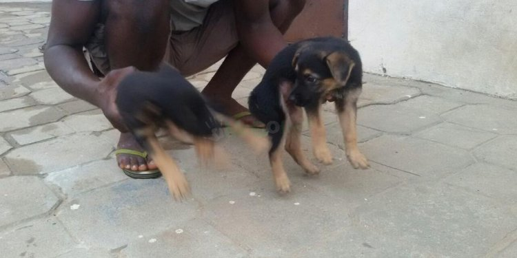 Alsatian German Shepherd puppies for sale