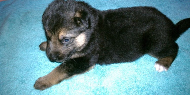 Shepherd puppies for Sale