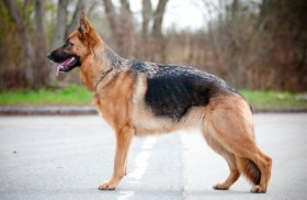 German Shepherd, standing outside in champion pose.
