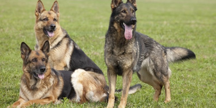 Common problems with German Shepherds