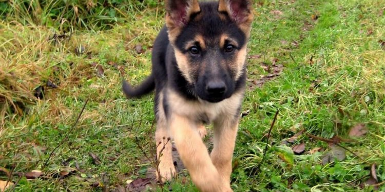 Baby German Shepherd dogs