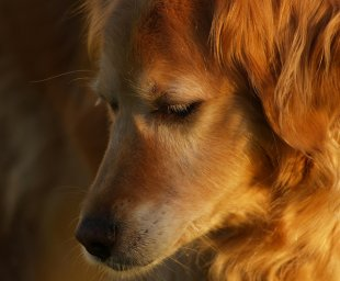 golden shepherd face 2