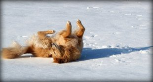 golden shepherd rolling on back