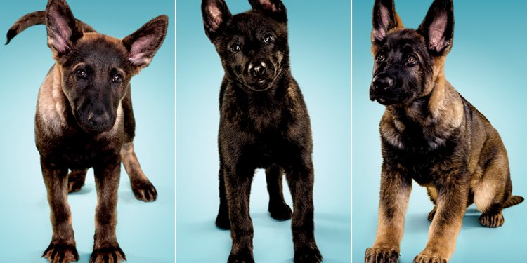 German Shepherd working dogs breeders