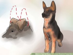 Image titled Tape Up Stubborn German Shepherd Puppy Ears Step 3