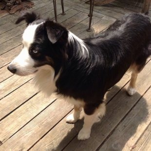 Kai the black and white Australian Shepherd standing on a wooden deck