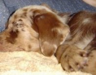 Kenya the Aussiedor puppy sleeping on a blanket on a couch