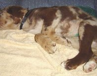 Kenya the Aussiedor sleeping on a couch on top of a blanket