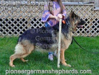 King Shepherd Breeders?
