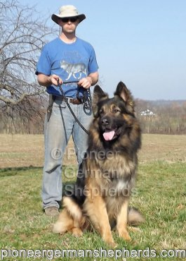King Shepherd? No, giant German Shepherd Ash