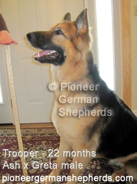 King Shepherd Puppies?