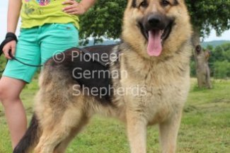 King Size German Shepherd