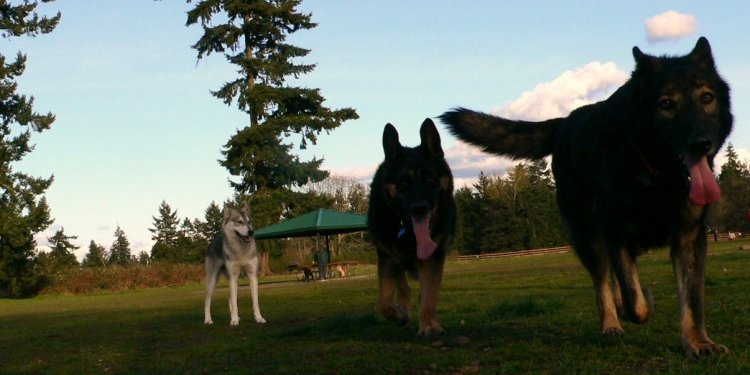 Breeding German working Shepherd Dog