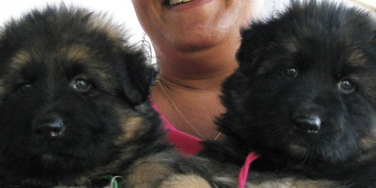 German Shepherd puppies Give Away