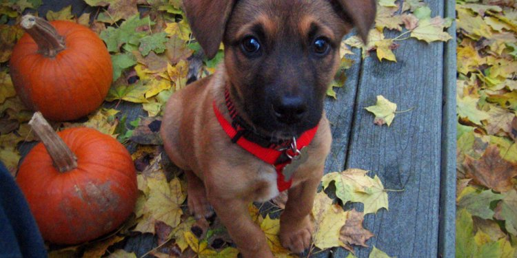 German Shepherd and Beagle mix puppies