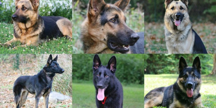 German Shepherd Dog adoption