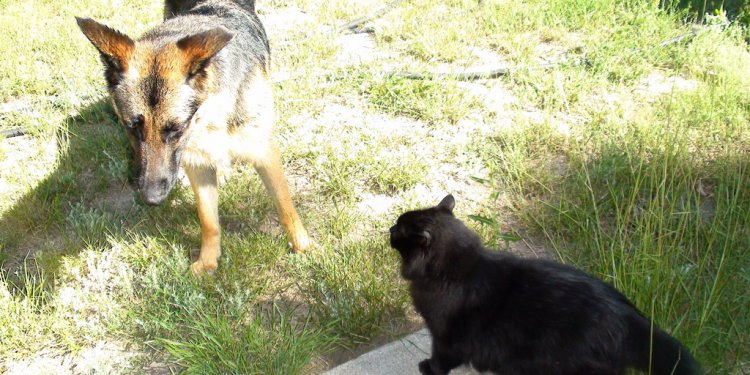 Alsatian VS German Shepherd