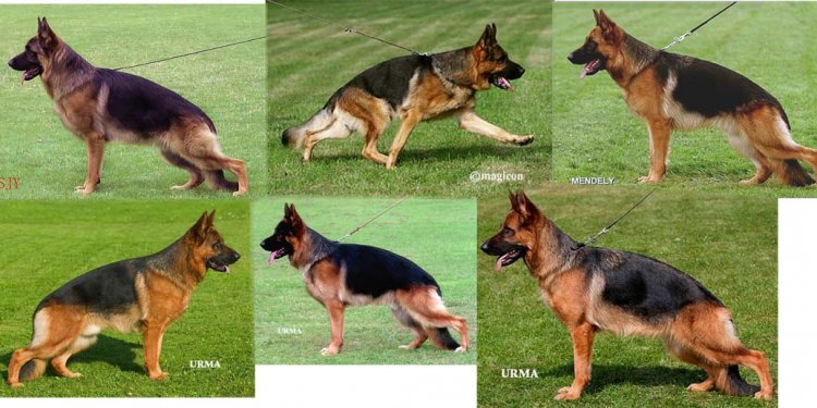 Breeding German Shepherds Timing