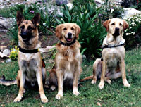 Photograph of the three breeds of dogs we use: Labrador Retrievers, Golden Retrievers and German Shephards.