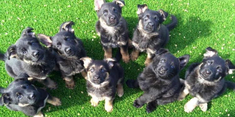 Pictures of German Shepherd puppies