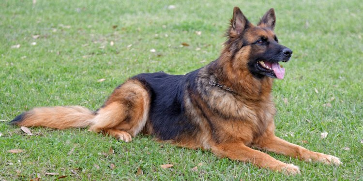 Types of German Shepherd dogs
