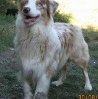 Puntici the blue-eyed Australian Shepherd standing in front of a rock on the grass with its mouth open