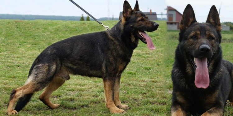 German Shepherd Trained dogs