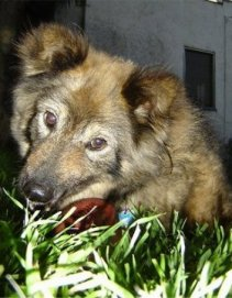 Sacchetto the Coydog is laying outside in grass at night and chewing on a toy