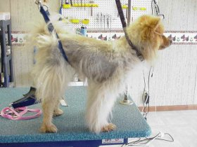 Shaving dogs with double coats
