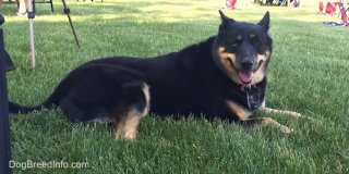 Side view - A large breed, black with tan German Shepherd/Siberian Husky mix is laying in grass. Its mouth is open and its tongue is out. It is looking at the camera and it has one blue eye and one brown eye.