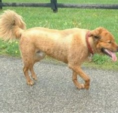 Side view - A panting,  wet tan German Shepherd/German Spitz mix is wearing a red collar walking across a black top surface. Its front paw is in the air and its tail us curled up and fringed out with longer hair. There is a wooden fence along the side of the road.