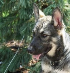 Side view head shot - a gray and tan shepherd puppy wearing a choke chain collar sitting in front of an evergreen tree.