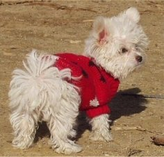 The backside of a fluffy,  white Maltese/Toy poodle that is standing in dirt and it is looking to the right. It is wearing a red sweater.