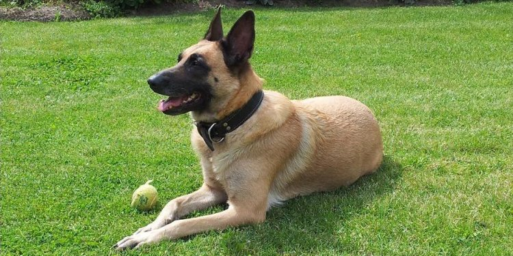 Are German Shepherds herding dogs