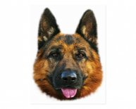 Alsatian Dog black