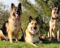 Are German Shepherds good dogs