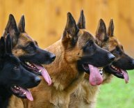 Are German Shepherds good guard dogs