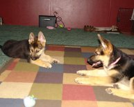 Black and tan German Shepherd puppy