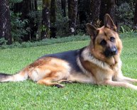 Dog breed GSD