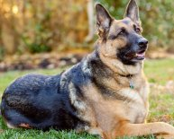 Dog breeds German Shepherd