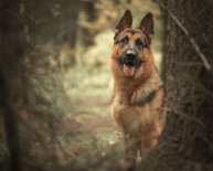 Dogs like German Shepherds