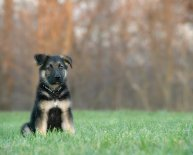 German Shepherd black face