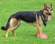 German Shepherd breed Info